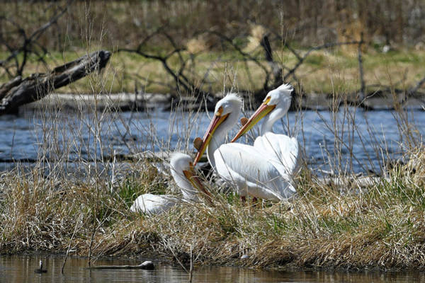 Wall Art - Photograph - Pelican Family by Catherine Lau