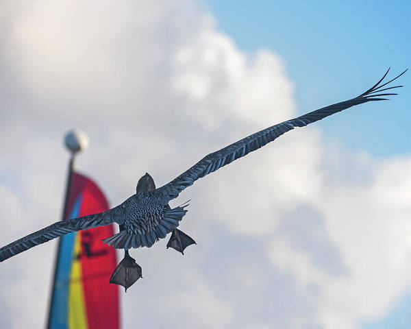 Photograph - Pelican Feet Pelican Flying Over Ambergris Caye San Pedro Belize by Toby McGuire