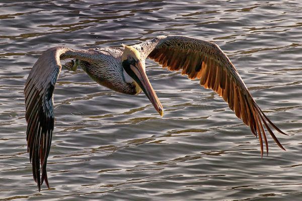 Photograph - Pelican Fly-by by Mike Covington