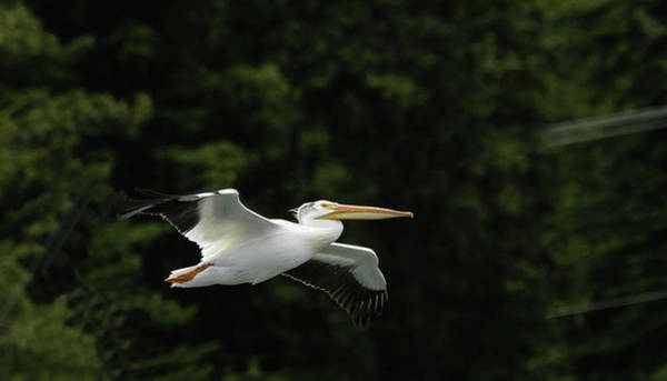 Photograph - Pelican Fly By by Ronnie and Frances Howard