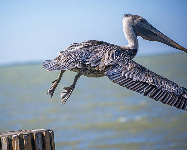 Photograph - Pelican Flying Away Key Largo Florida by Toby McGuire