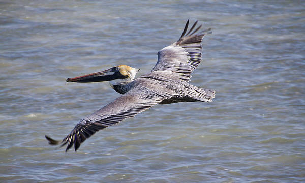 Photograph - Pelican Flying by Bob Slitzan