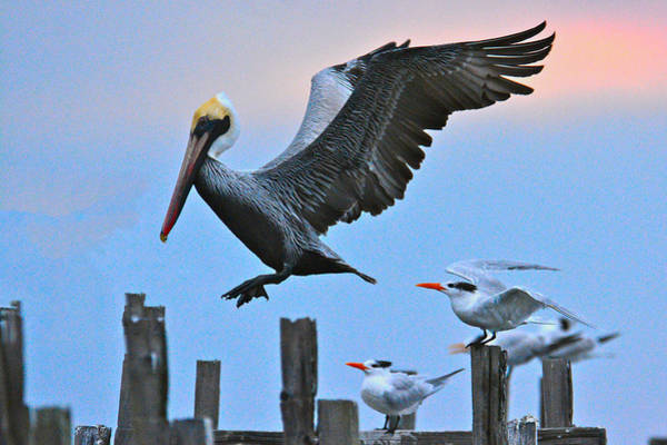 Photograph - Pelican Four-zero On Short Final by Don Mercer