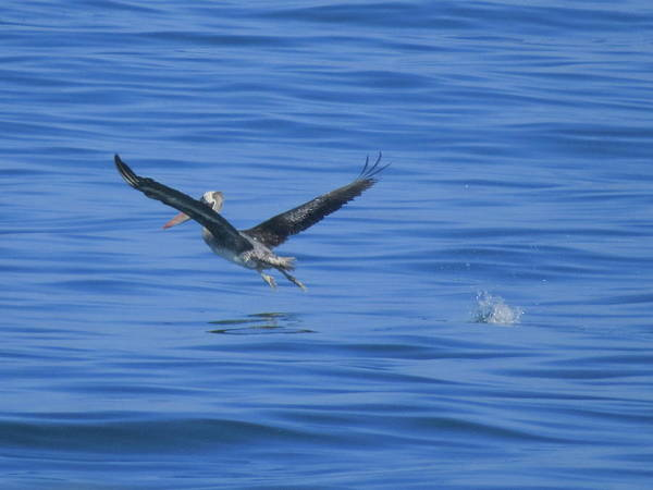 Arica Photograph - Pelican by Surfing Arica