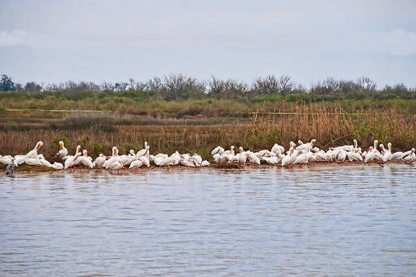 Wall Art - Photograph - Pelican Gathering by Bill Perry