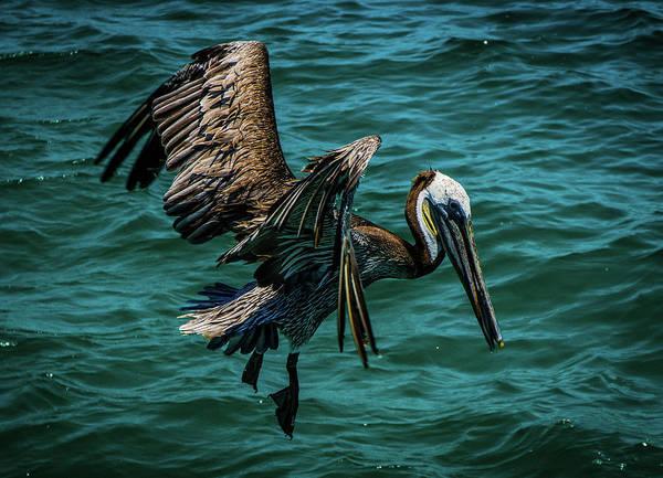 Pelican Glide Art Print