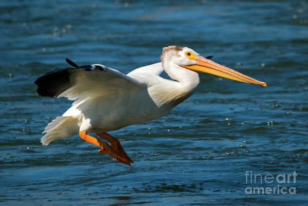 American White Pelican Wall Art - Photograph - Pelican Glide by Mike Dawson