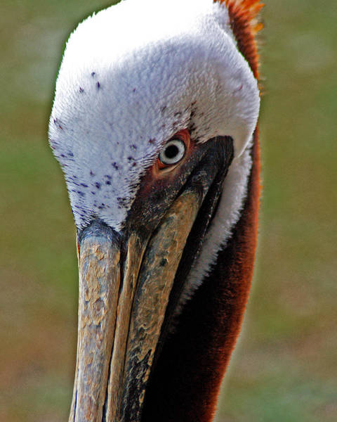 Painting - Pelican Head by Michael Thomas