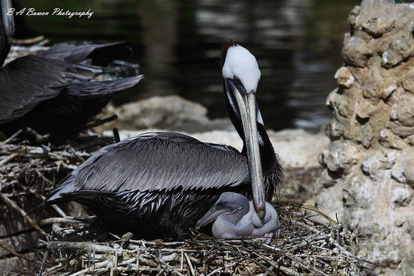 Photograph - Pelican Hug by Barbara Bowen