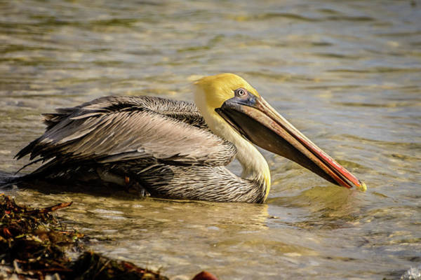 Photograph - Pelican I by Robert Mitchell