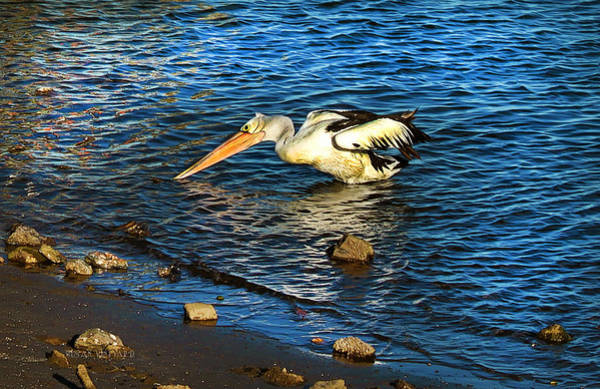 Photograph - Pelican In Action by Susan Vineyard