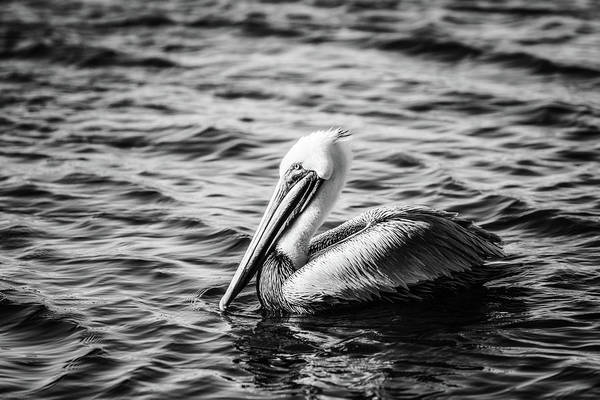 Photograph - Pelican In Black And White by Michael McStamp