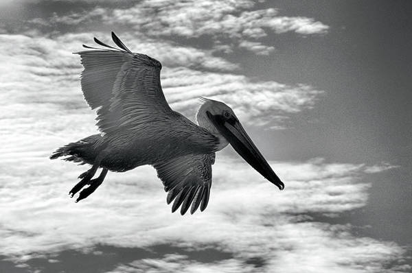 Photograph - Pelican In Flight by AJ Schibig