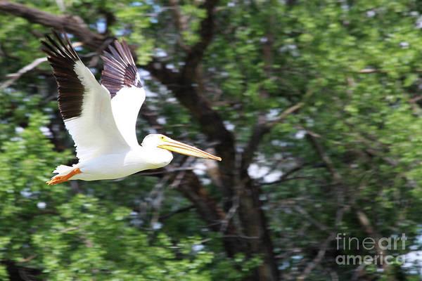 Lethbridge Photograph - Pelican In Flight by Alyce Taylor