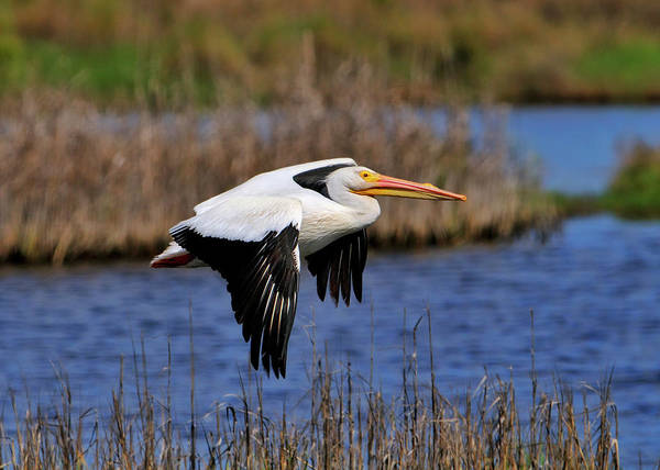 Photograph - Pelican In Flight by Bill Dodsworth
