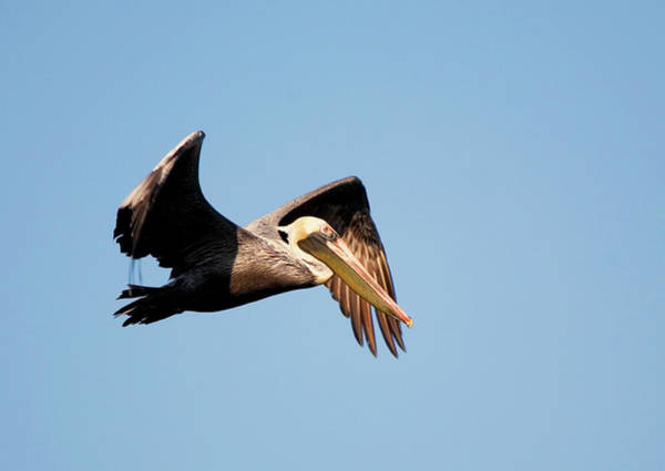 Photograph - Pelican In Flight by Karl Ford