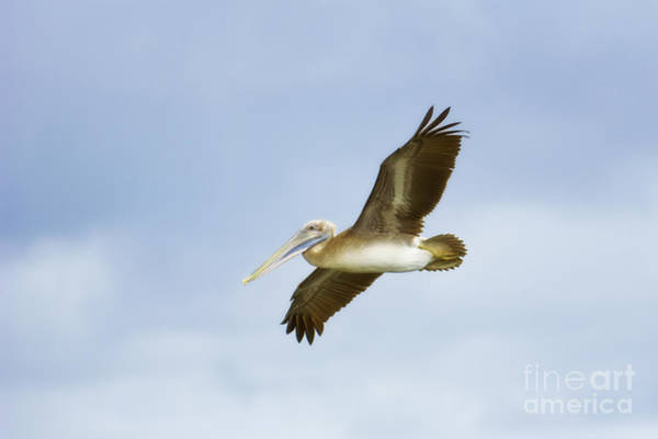 Photograph - Pelican In Flight by Patrick M Lynch