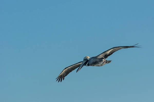 Photograph - Pelican In Flight by Robert Mitchell