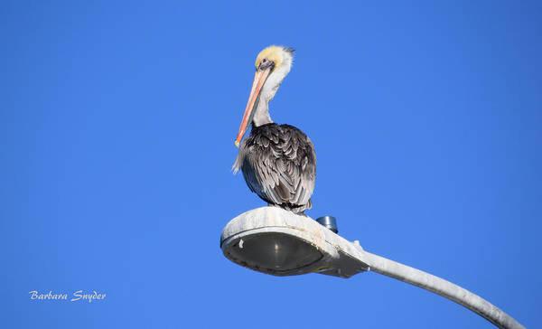 Morro Bay Painting - Pelican In Morro Bay California by Barbara Snyder