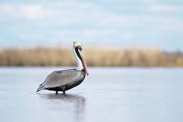 Photograph - Pelican In Paradise by Eilish Palmer