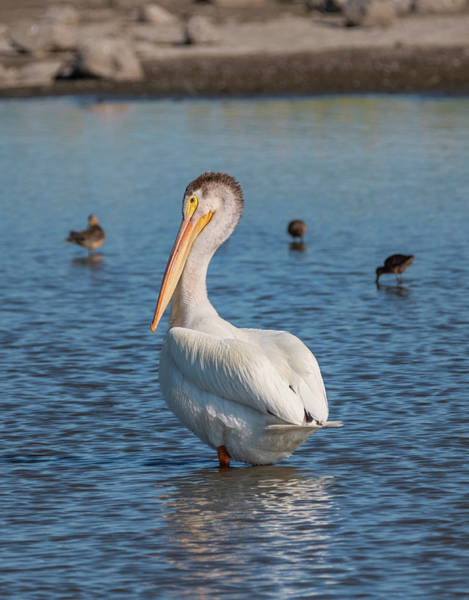 Photograph - Pelican In The Pond by Loree Johnson