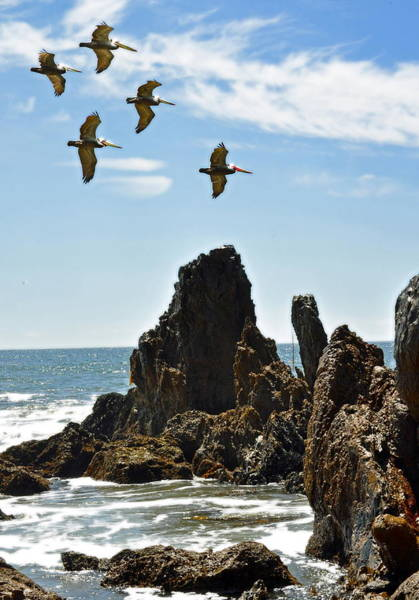 California Brown Pelican Photograph - Pelican Inspiration by Gwyn Newcombe