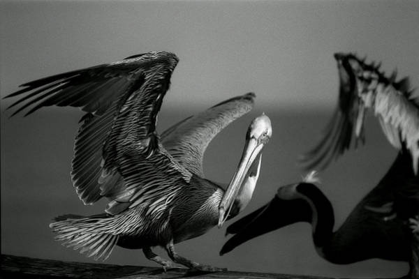 Photograph - Pelican by Jane Melgaard