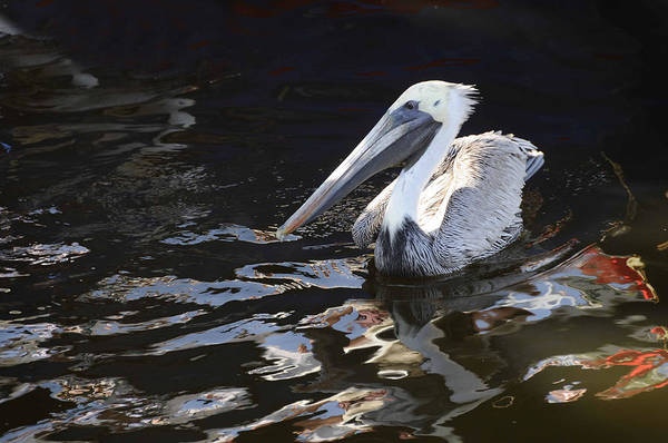 Photograph - Pelican by Jody Lovejoy
