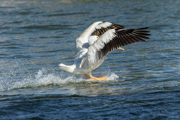 Photograph - Pelican Landing 2016 by Thomas Young