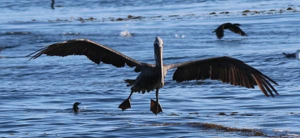 Photograph - Pelican Landing  by Christy Pooschke