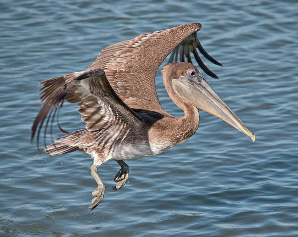 Photograph - Pelican Landing by Mike Covington