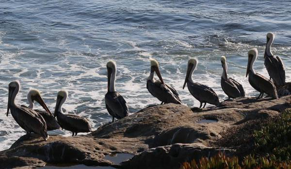 Photograph - Pelican Line-up by Christy Pooschke