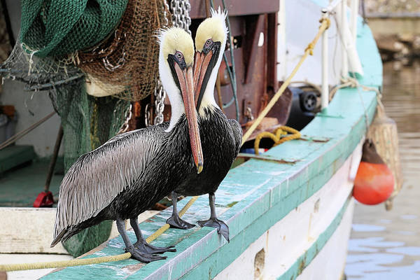 Photograph - Pelican Love Birds by JC Findley
