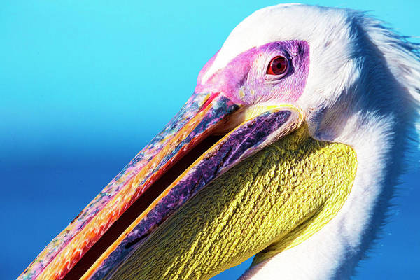 Photograph - Pelican by Matt Cohen