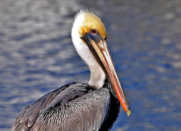 Painting - Pelican On Dock Closeup by Michael Thomas