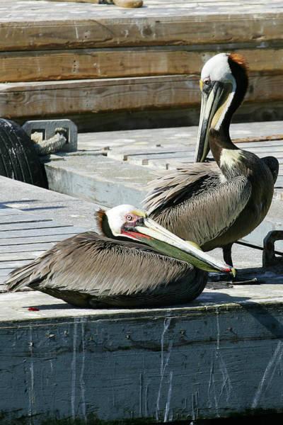 Pelican On The Dock Art Print