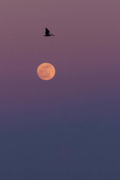 Photograph - Pelican Over The Moon by Paul Rebmann