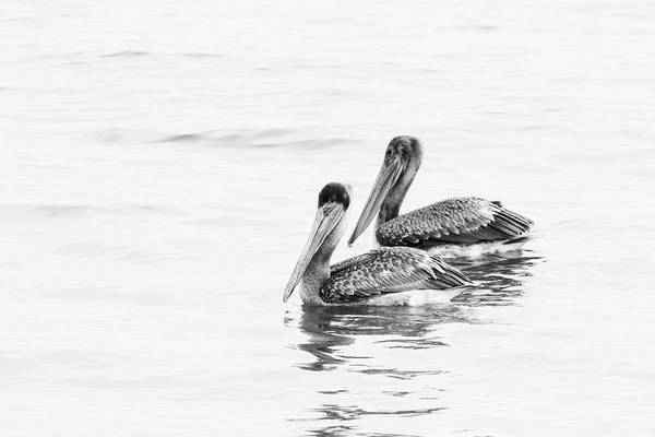 Photograph - Pelican Pair Bw by Michael McStamp