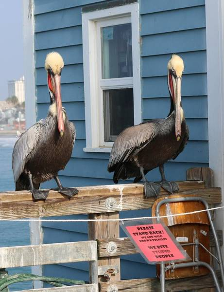 Photograph - Pelican Pals - 3  by Christy Pooschke