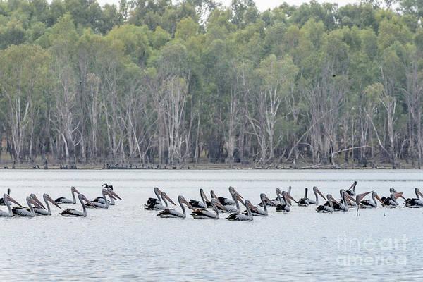 Photograph - Pelican Parade 02 by Werner Padarin