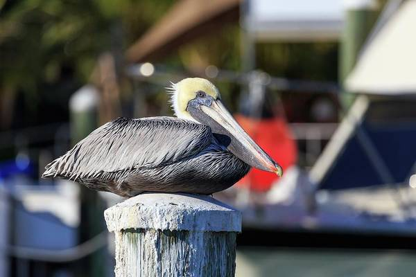 Photograph - Pelican by Paul Schultz