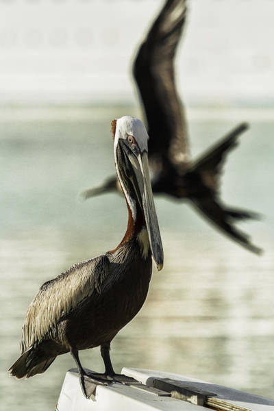 Photograph - Pelican Photobombed By A Frigatebird by Belinda Greb