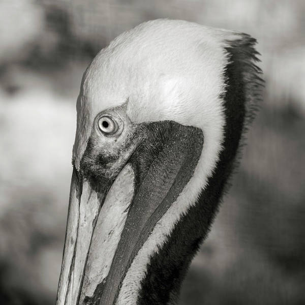 Wall Art - Photograph - Pelican Portrait Florida Keys by Betsy Knapp