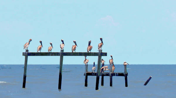 Photograph - Pelican Pow Wow by Susan Vineyard