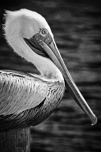 Photograph - Pelican Profiled Black And White by Alice Gipson