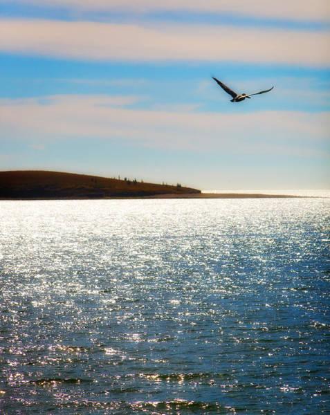 Photograph - Pelican San Carlos Mexico by Bob Coates
