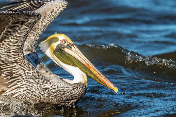 Wall Art - Photograph - Pelican Side Portrait by Paul Freidlund