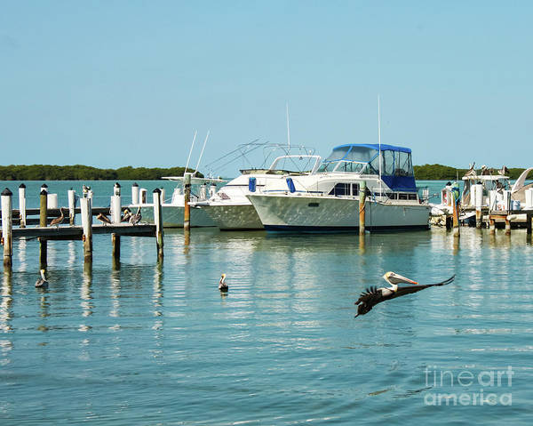 Photograph - Pelican Soars At Marina In Florida Keys by Susan Vineyard