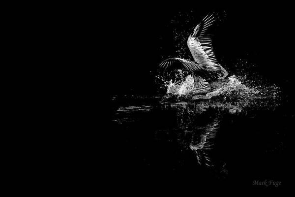 Pelican Island National Wildlife Refuge Wall Art - Photograph - Pelican Splash by Mark Fuge