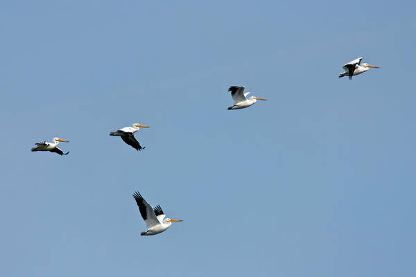 Photograph - Pelican Squadron by Dawn Currie